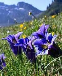 дикорастущие цветы