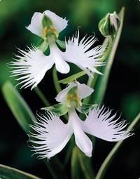 орхидея арахнис
